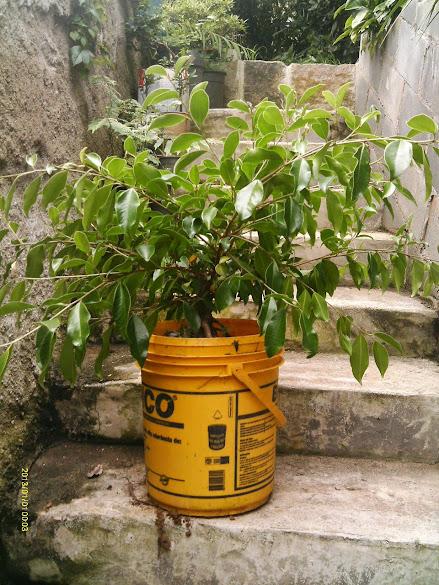 Ficus Microcarpa, finalização Rapida... IMAG0171