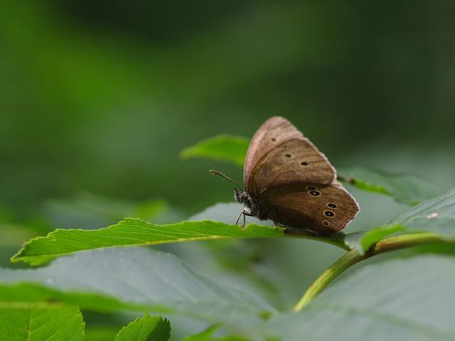 Aphantopus hyperantus (L., 1758), femelle. Chemin de La Rodé, 620 m, Cocurès (Lozère), 6 août 2013. Photo : J.-M. Gayman