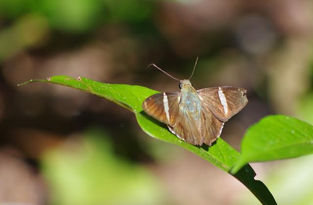 Eudaminae : Autochton longipennis (PLÖTZ, 1882). Crique Cochon, sur le sentier de Popote (Saül), 16 novembre 2012. Photo : J.-M. Gayman
