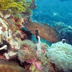 Grouper (Dauin, Negros)