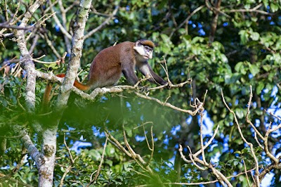 Red tailed monkey.jpg