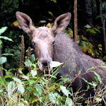 Moose Oct 1 08 001.JPG