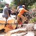 Beringin Tumbang Tutup Akses Jalan Bhayangkara Sukabumi