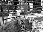 Zebrák a budapesti állatkertben, 1948 (Fotó: Fortepan)