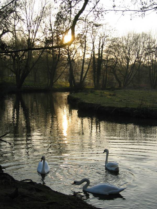 swans on river at dusk