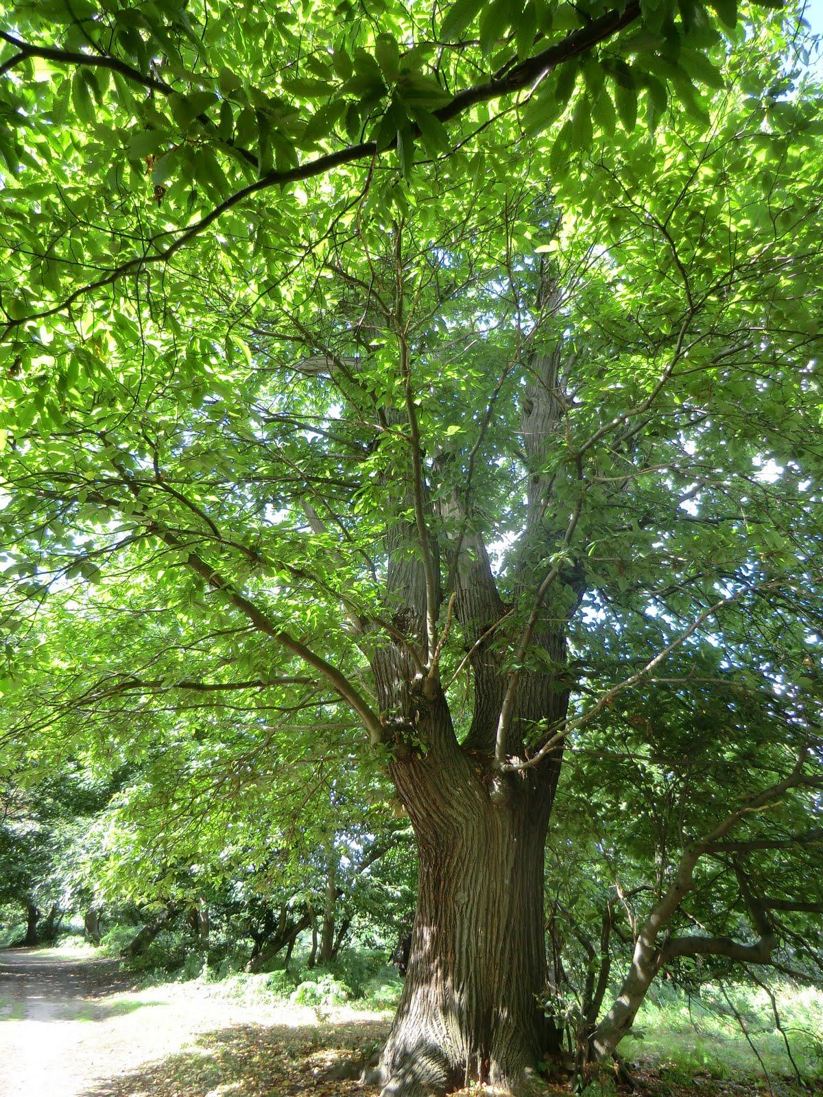 CIMG3518 Sweet chestnut, Cobham Park