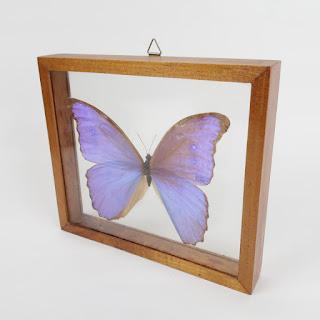 Morpho Butterfly Specimen