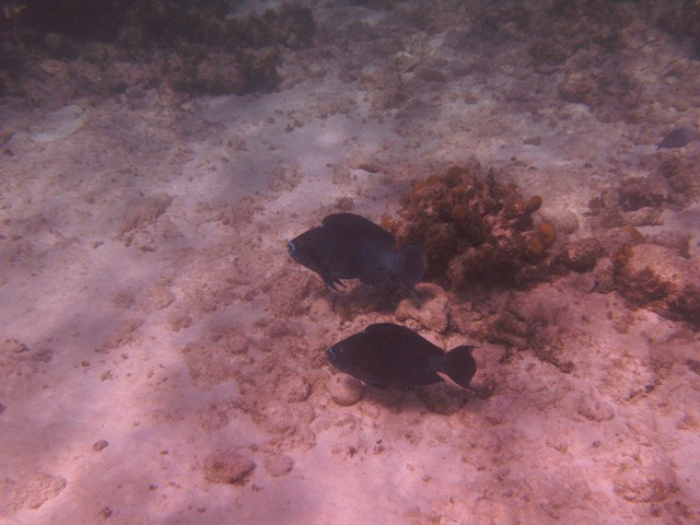 Midnight Parrot Fish pair at Conception Island