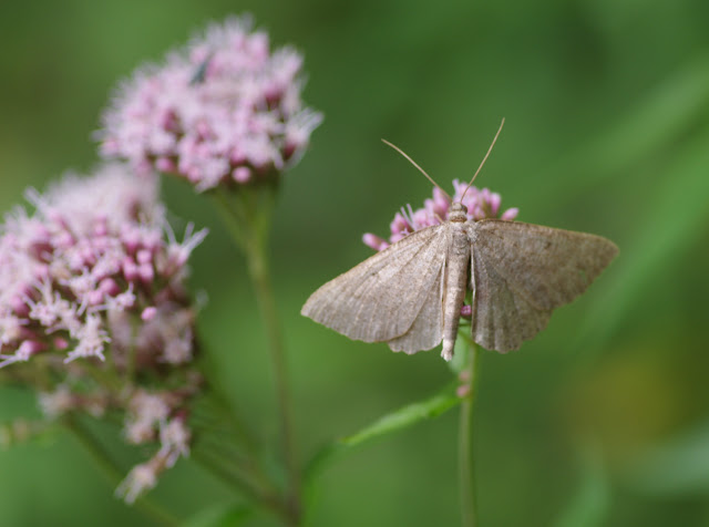 Geometridae : Ennominae : Crocallis dardoinaria (DONZEL, 1840). Chemin de La Rodé, 620 m, Cocurès (Lozère), 8 août 2013. Photo : J.-M. Gayman