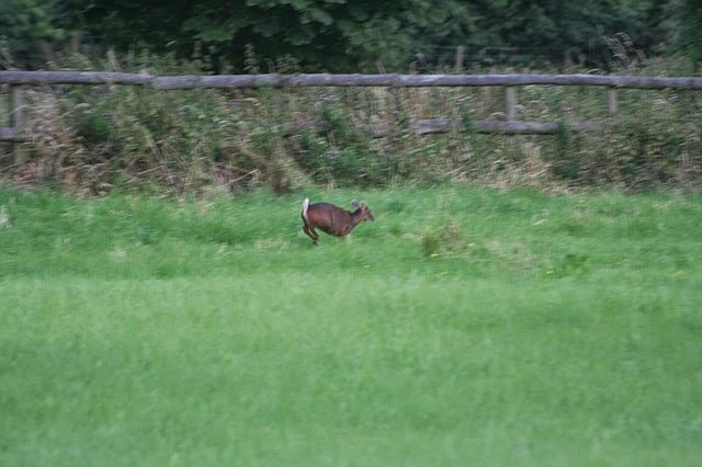 Woodhurst Wildlife Muntjac In The Grassfield - muntjac14.jpg