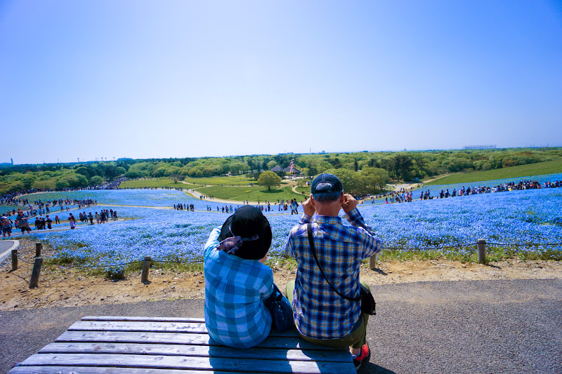 Hitachi Seaside Park Nemophila (baby blue eyes flowers) photo8