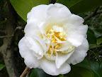 白色 花底が帯黄色 牡丹咲き ときに唐子咲き 散りしべ 大輪