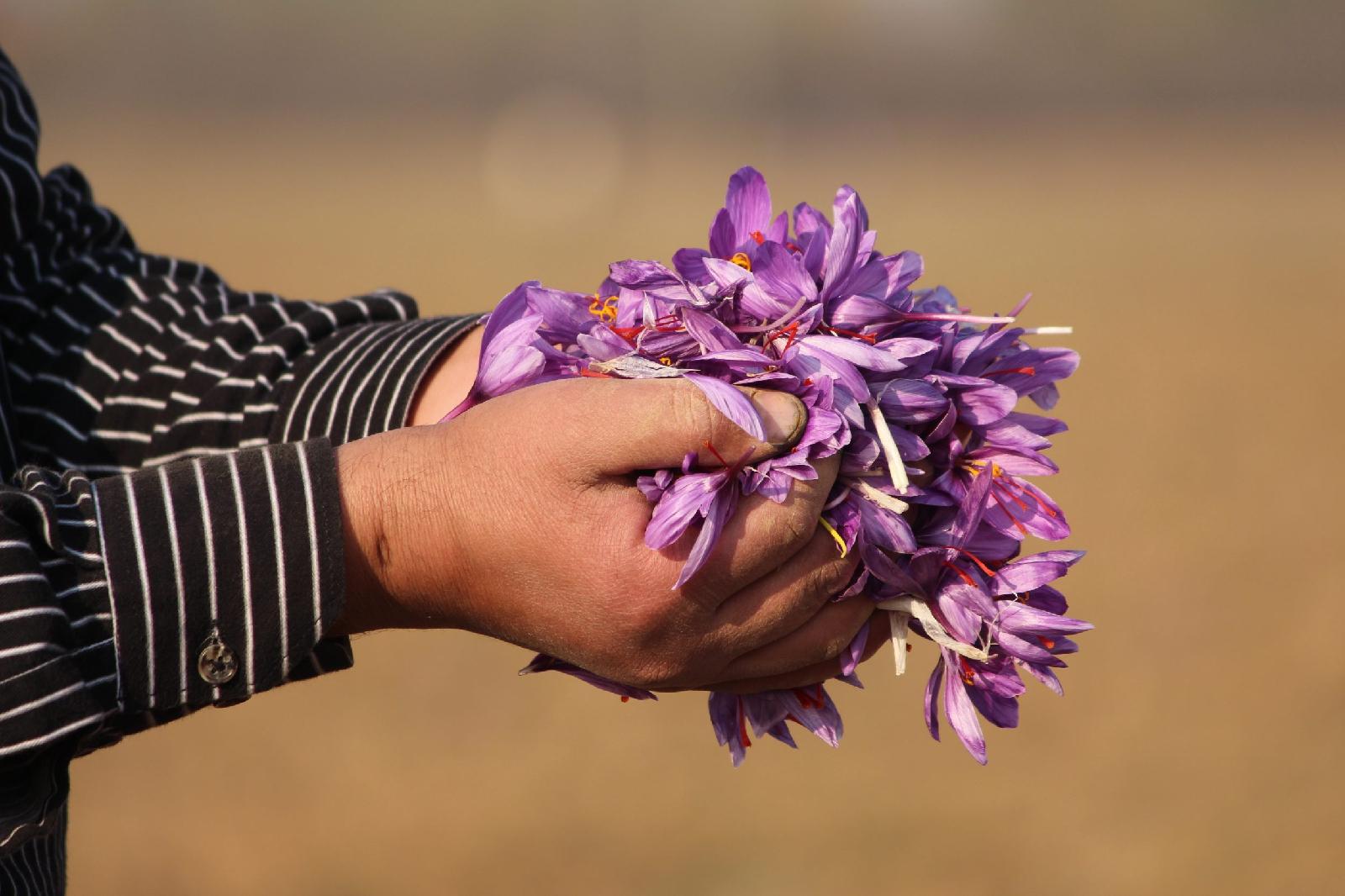 Saffron cultivation in Kashmir