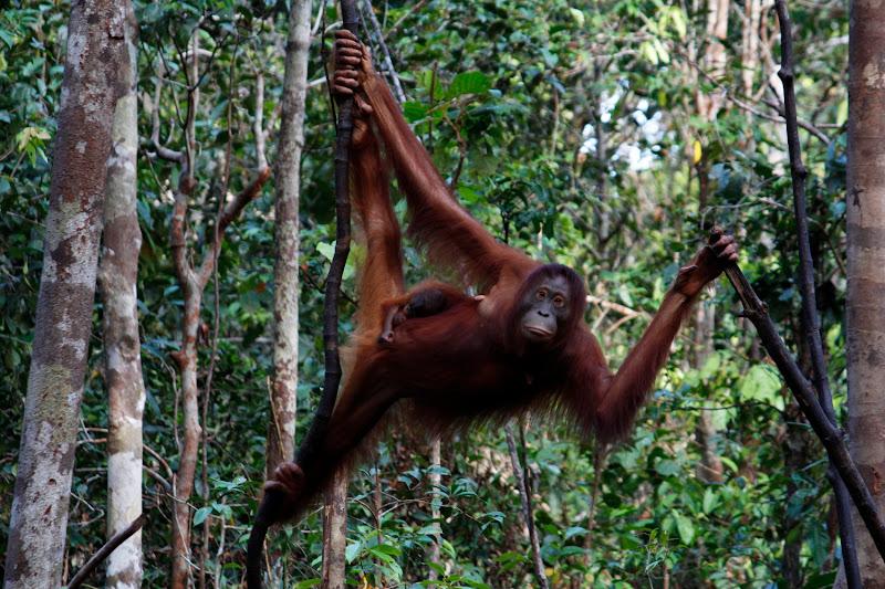 Una madre orangután y su cría en la jungla de Borneo