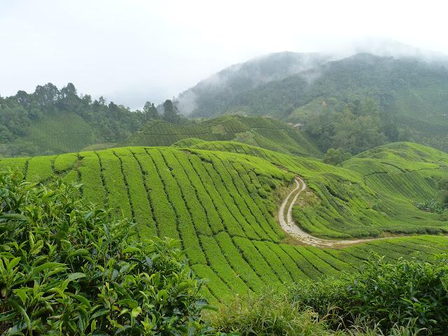Cameron Highlands, plantation thé