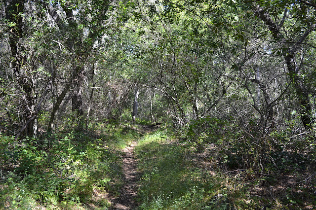 flat trail through young tree tunnel