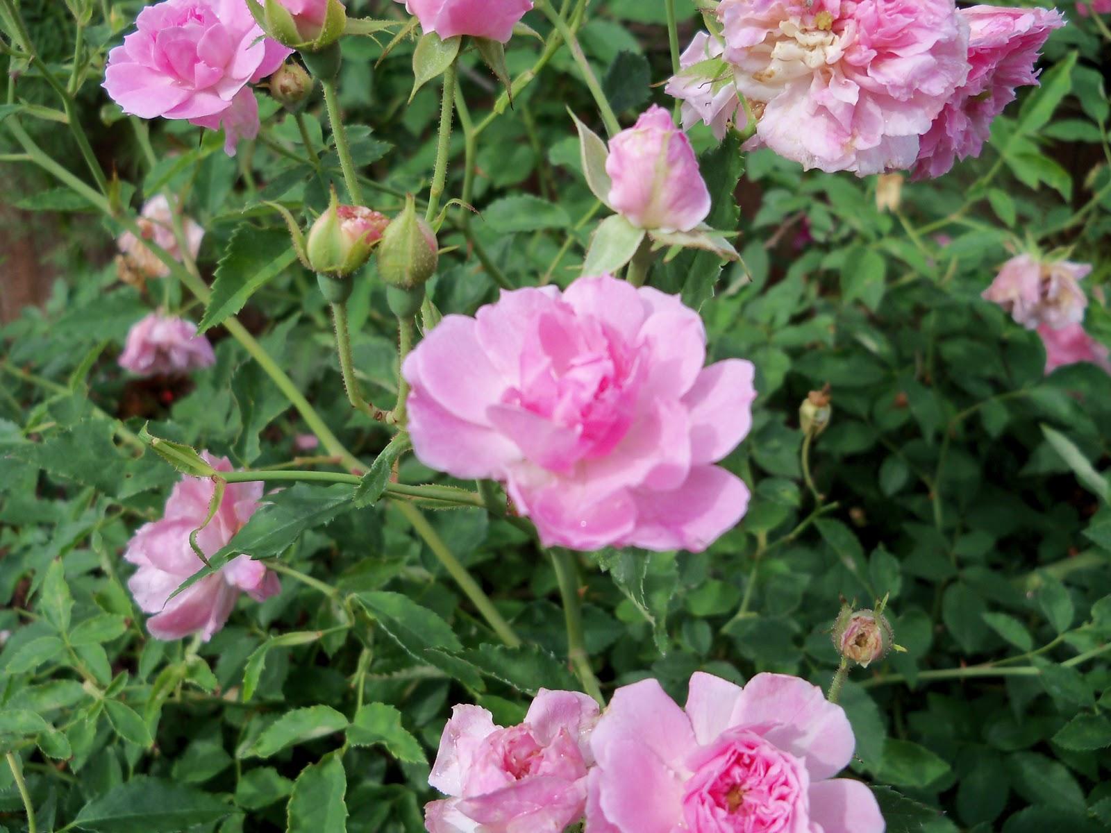 Gardening 2010, Part Two - 101_2185.JPG