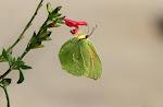 Orange citronsommerfugl, cleopatra.jpg