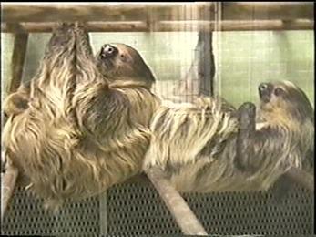 1995.06.16-017 paresseux