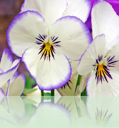 white-flowers-gallery-nature-pansy-beautiful-208845