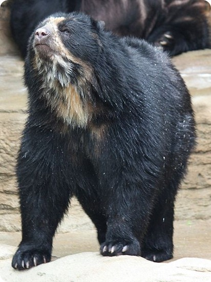 Baritu-Spectacled_Bear_059