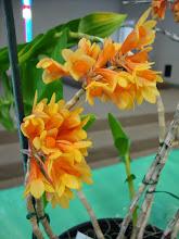 Photo: Dendrobium phlox