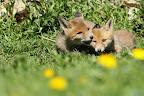 MORDILLAGES   Sieste au soleil pour ces 2 renardeaux
