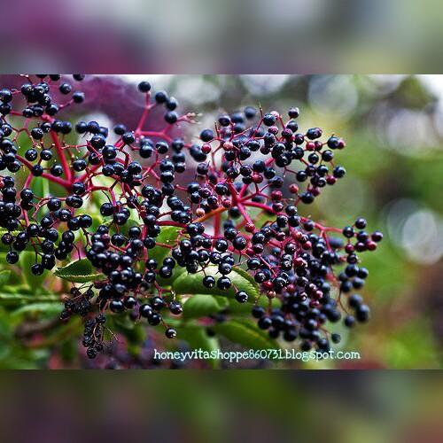 Kelebihan European Elderberry Yang Terdapat Di Dalam Vivix