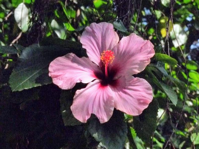 Xiamen.jardin botanique.hibiscus