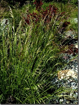 Deschampsia, a parent of thousands