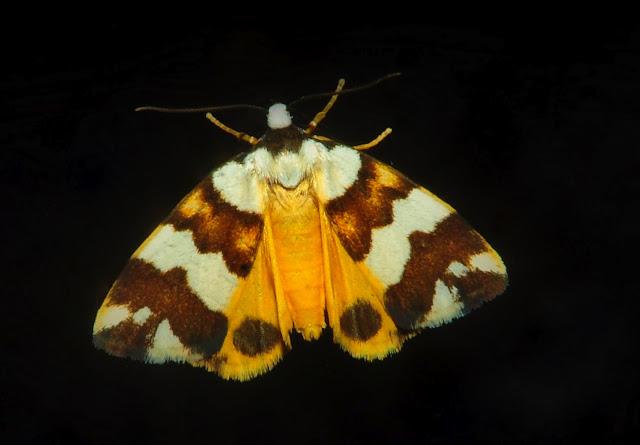 Arctiidae : Lithosiinae : Termessa gratiosa WALKER, [1865]. Umina Beach (NSW, Australie), 22 octobre 2011. Photo : Barbara Kedzierski