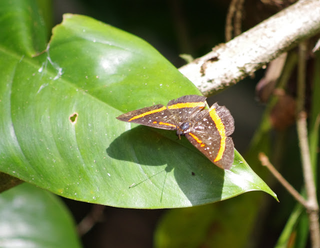 Amarynthis meneria micalia (CRAMER, 1776). Crique Cochon, sur le sentier de Popote (Saül), 16 novembre 2012. Photo : J.-M. Gayman