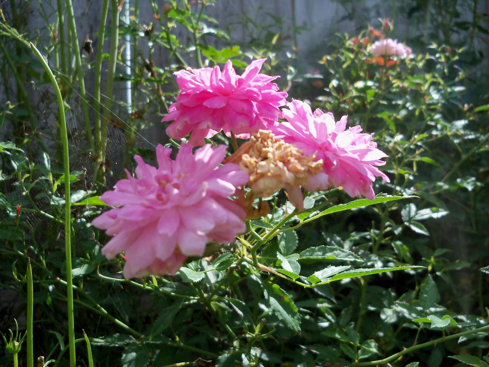 Gardening 2010, Part Three - 101_5003.JPG