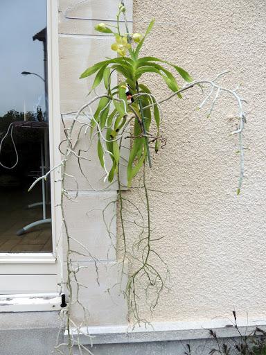 orchidee vanda racines