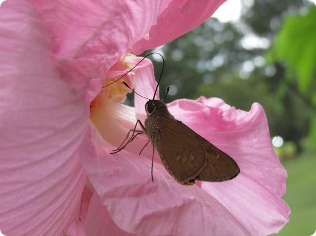 IMG_1845 Brazilian Skipper (Calpodes ethlius) Butterfly (9)