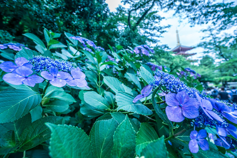 Hydrangea flowers at Takahatafudoson Kongoji Temple3