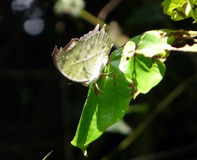 Protogoniomorpha parhassus DRURY, 1782. Atewa Hills (Ghana), 28 décembre 2009. Photo : J. F. Christensen