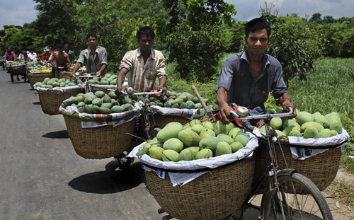 Carrying mango on bicycle for selling at wholesale market
