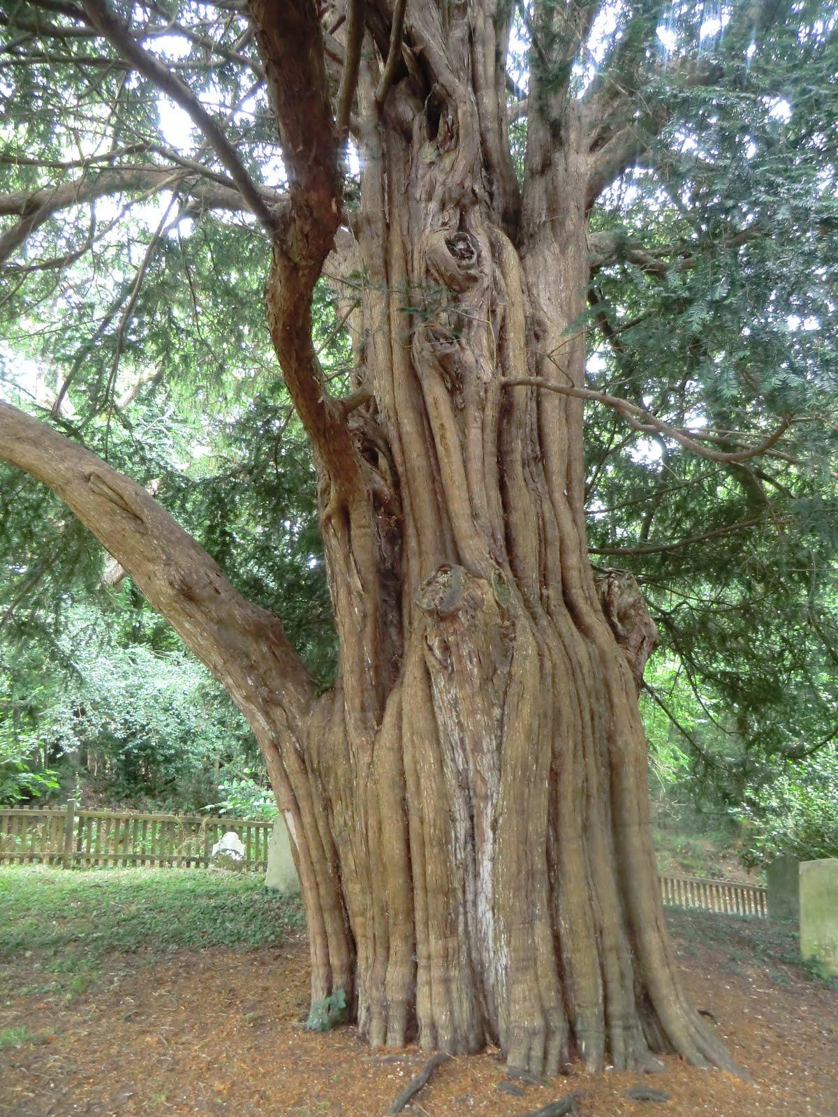 CIMG4263 Old yew in St Nicholas churchyard