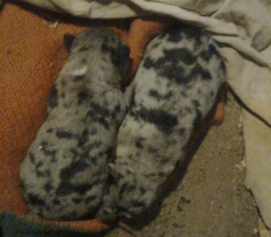 pastore biellese – Adotta un cucciolo