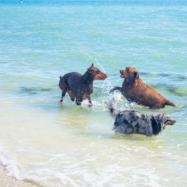 In the aqua by Meaghan Browning - Animals - Dogs Playing ( water, playing, dogs, beach, variety )