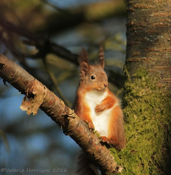 13-red-squirrel