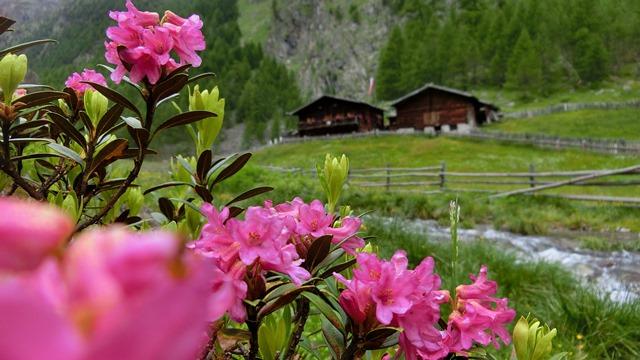 Almrosenwanderung im Schnalstal ins Mastauntal im Juni