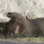 toter Wombat