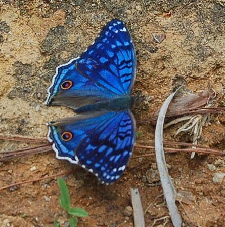 Junonia rhadama (BOISDUVAL, 1833). Environs de Moramanga (Madagascar), 1er janvier 2014. Photo : T. Laugier