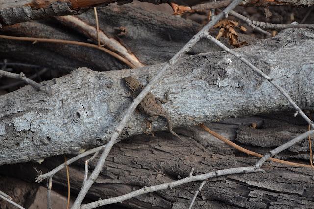 zig-zag lizard