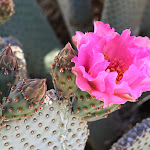 Beavertail cactus flower