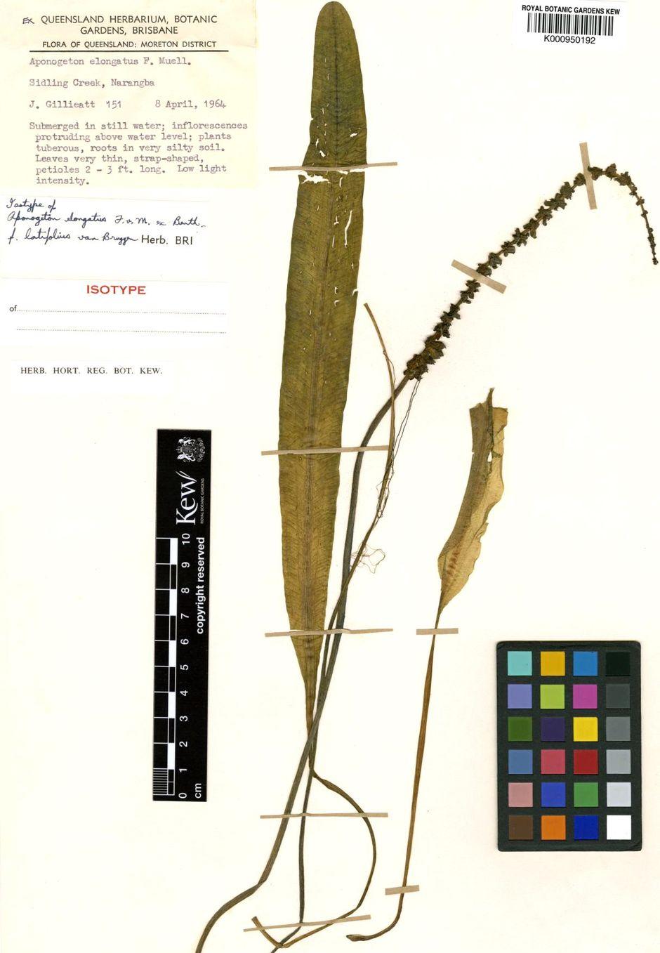 Апоногетон удлиненный (Aponogeton elongatus)