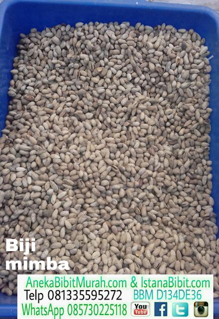 Jual biji tanaman Mimba harga murah