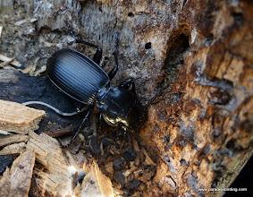 Photo: Carabid beetle. Black Butte Burn.